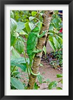 Framed Madagascar, Lizard, Chameleon on tree limb
