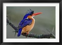 Framed Malachite Kingfisher, Lake Nakuru National Park, Kenya