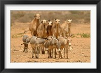 Framed Mauritania, Adrar, Camels and donkeys going to the well