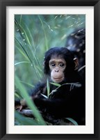 Framed Infant Chimpanzee, Tanzania