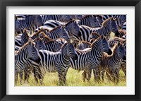 Framed Large herd of Burchell's Zebras, Masai Mara Game Reserve, Kenya