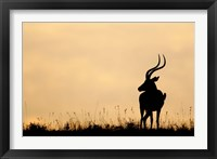 Framed Impala With Oxpecker Bird, Nakuru National Park, Kenya