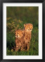 Framed Cheetah cubs, Kenya