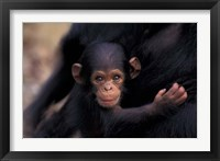 Framed Infant Chimpanzee, Gombe National Park, Tanzania