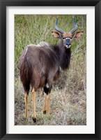 Framed Male Nyala, Zulu Nyala Game Reserve, Kwazulu Natal, South Africa