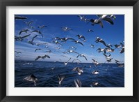 Framed Kelp Gulls, South Africa