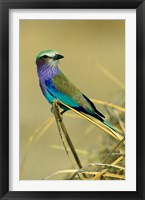 Framed Lilac-Breasted Roller bird, Mana Pools NP, Zimbabwe