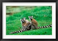 Framed Madagascar, Antananarivo, Ring-tailed lemur, primate