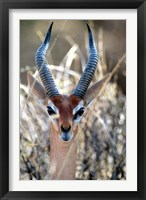 Framed Male Gerenuki with Large Eyes and Curved Horns, Kenya