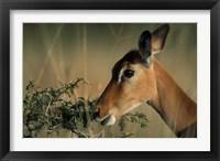 Framed Kenya, Lake Nakuru NP, Impala wildlife