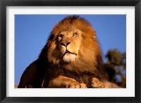Framed Lion, Masai Mara, Kenya