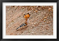 Framed Madagascar. Madagascar Hoopoe, endemic bird