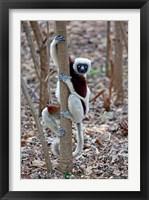 Framed Madagascar, Ankarafantsika Coquerels Sifaka primate