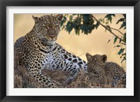 Framed Leopard and Cub Resting, Masai Mara Game Reserve, Kenya