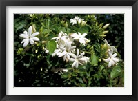 Framed Jasmine Flowers in Bloom, Madagascar