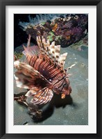Framed Lionfish at Daedalus Reef