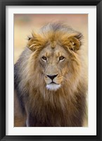 Framed Male Lion at Africat Project, Namibia