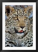 Framed Leopard Female Cub, Savuti Channal, Linyanti Area, Botswana