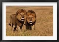 Framed Lions, Duba Pride Males, Duba Plains, Okavango Delta, Botswana