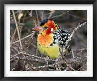 Framed Kenya. Red and yellow barbet bird on tree limb