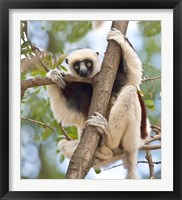 Framed Madagascar, Sifaka lemur wildlife in tree