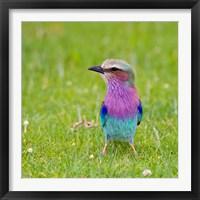 Framed Kenya. Lilac-breasted Roller bird, Lake Naivasha