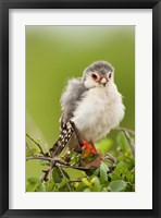Framed Pygmy Falcon, Samburu Game Reserve, Kenya