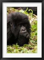 Framed Gorilla resting, Volcanoes National Park, Rwanda