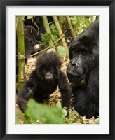 Framed Adult and baby Gorilla, Volcanoes National Park, Rwanda