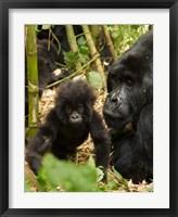 Framed Adult and baby Gorilla, Volcanoes National Park, Rwanda
