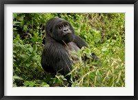 Framed Mountain Gorilla, Volcanoes National Park, Rwanda