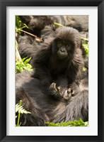 Framed Baby Mountain Gorilla, Volcanoes National Park, Rwanda