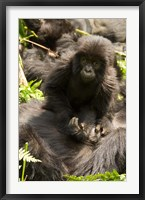 Framed Baby Mountain Gorilla, Volcanoes National Park, Rwanda