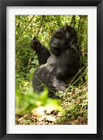 Framed Gorilla holding a vine, Volcanoes National Park, Rwanda
