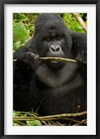 Framed Gorilla chewing, Volcanoes National Park, Rwanda
