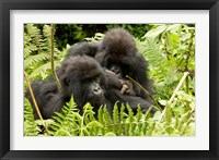 Framed Pair of Gorillas, Volcanoes National Park, Rwanda