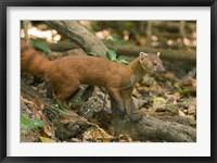 Framed N. Ringtail Mongoose wildlife, Ankarana NP, Madagascar