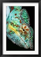 Framed Panther Chameleon, Western Madagascar