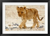 Framed Namibia, Etosha NP. Lion, Stoney ground