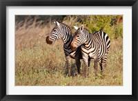 Framed Pair of Zebras in Meru National Park, Meru, Kenya
