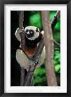Framed Propithecus sifaka lemur, Madagascar
