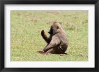 Framed Olive Baboon, Papio anubis, Maasai Mara, Kenya.