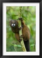Framed Primate, Red-bellied Lemur, Mantadia NP, Madagascar