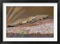 Framed Nile Crocodiles on the banks of the Mara River, Maasai Mara, Kenya, Africa