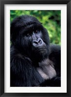 Framed Close up of Mountain Gorilla, Rwanda