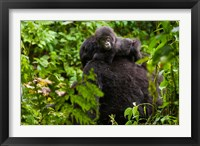 Framed Gorilla carrying baby, Volcanoes National Park, Rwanda