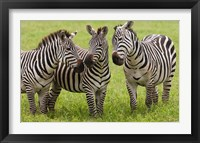 Framed Three Plains zebras, Tanzania