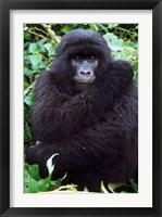 Framed Mountain Gorilla preening, Group 11, Rwanda