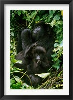 Framed Mountain Gorillas, Parc N. Volcans, Rwanda