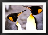 Framed Two Penguins, Sub-Antarctic, South Georgia Island